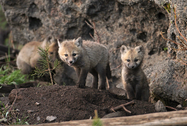 more fox pups